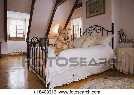 stock foto gemischt shetland hund bett in dass meister schalfzimmer auf dass oben. Black Bedroom Furniture Sets. Home Design Ideas