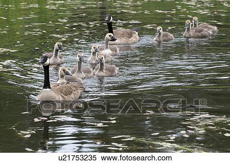 Canada Goose Thunder Bay Ontario Canada Goose Langford