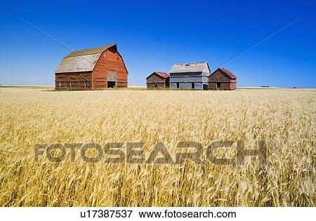 Picture Of Old Grain Bins And Red Barn Next To Wheat Field