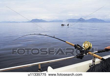 Stock Image Of Salmon Fishing With Killer Whale Swimming