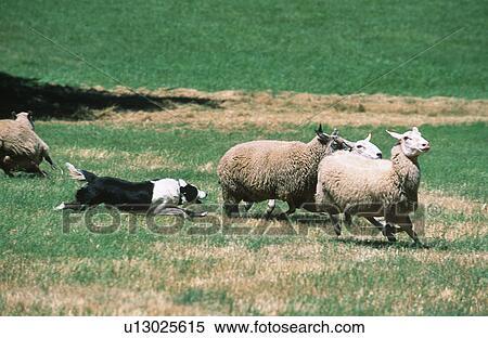 border collie herds sh...