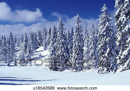 Colecci n de fotograf a suiza nieve rboles vaud for Ver fotos de arboles de hoja perenne