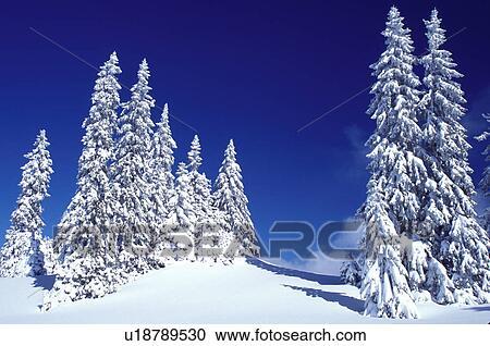 Banco de fotograf as nieve rboles de planta de hojas for Ver fotos de arboles de hoja perenne