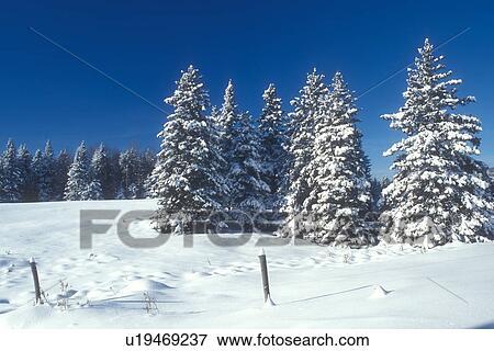 Foto rbol hoja perenne rboles invierno nueva for Ver fotos de arboles de hoja perenne