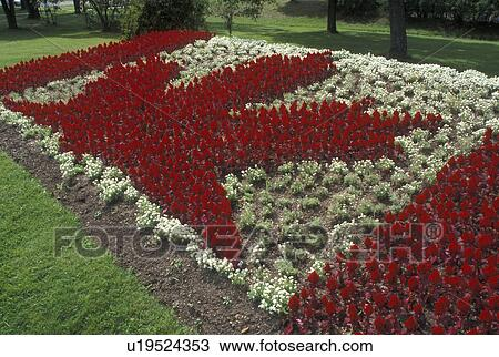 Stock photo of maple leaf thunder bay canada ontario red and maple leaf thunder bay canada ontario red and white flowers make up the canadian flag in the international friendship gardens in thunder bay mightylinksfo