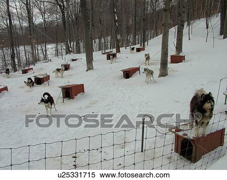 Siberian Husky Quebec Stock Image of Beaupre...