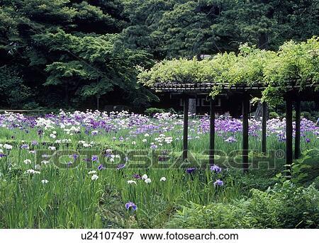 Image iris koishikawa korakuen jardin bunkyo for Jardin korakuen