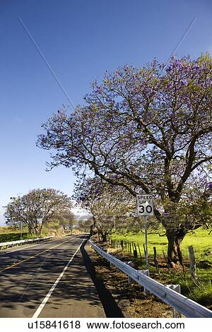 Pictures of Road with Jacaranda tree blooming with purple ...