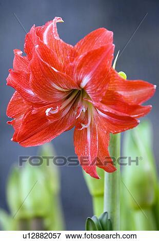 Image amaryllis fleur u12882057 recherchez des photos for Amaryllis fleurs