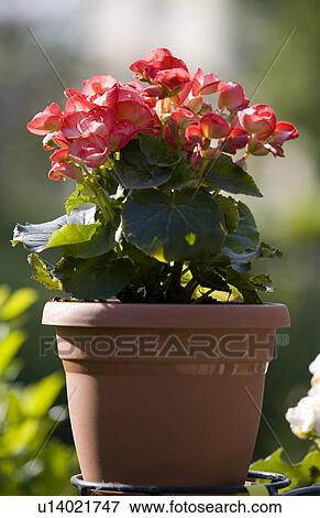 Immagine begonia pianta u14021747 cerca archivi for Begonia pianta