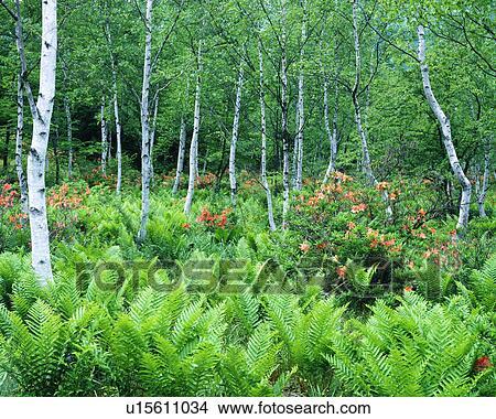 Colecci n de foto abedul blanco rboles en un bosque u15611034 buscar fotos e im genes y - Abedul blanco ...