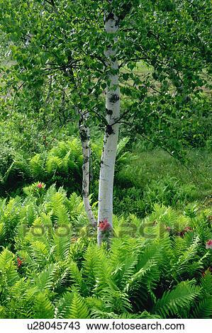 Colecci n de foto abedul blanco rboles en un bosque u28045743 buscar fotos e im genes y - Abedul blanco ...