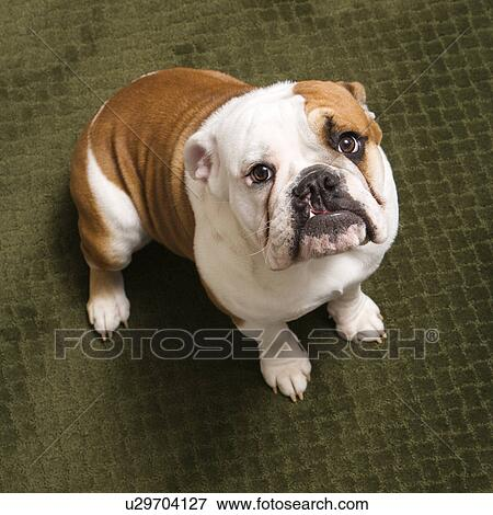 bild englische bulldogge hundebaby sitzen teppich. Black Bedroom Furniture Sets. Home Design Ideas