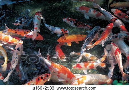 Archivio fotografico fish carpa vertebrato animale for Carpa pesce rosso
