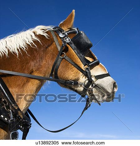 Stock Image Of Side View Of Draft Horse Wearing Bridle And