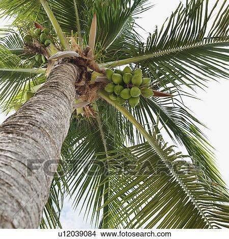 Banque de photo palmier et noix coco u12039084 - Palmier noix de coco ...