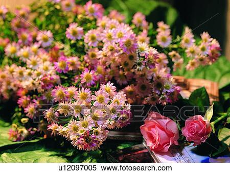 Archivio immagini margherita rosa pianta fiore for Margherita pianta