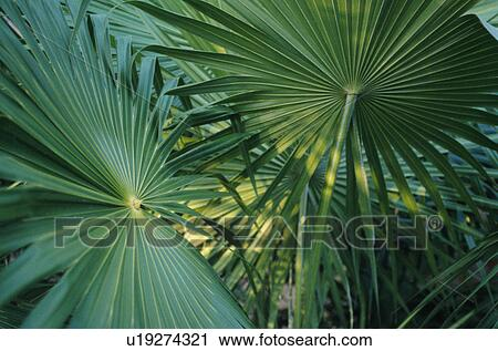 Archivio fotografico palma pianta u19274321 cerca for Palma pianta