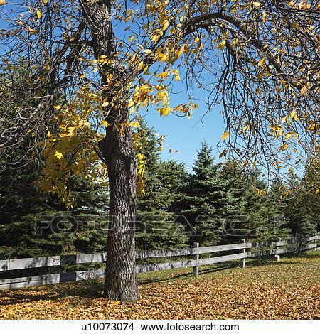 banque de photo am ricain arbre h tre dans couleur chute dans cl tur dans pasture. Black Bedroom Furniture Sets. Home Design Ideas