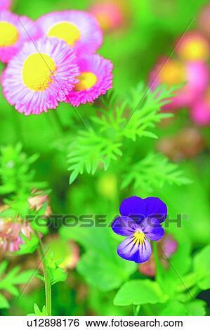 Archivio di immagini pianta fiore fiore margherita for Margherita pianta
