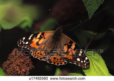 Stock Photography of Painted Lady Butterfly u17492560 ...