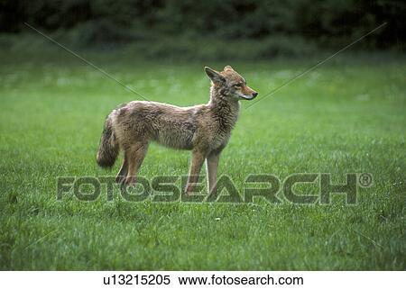 banque d 39 image solitaire jeune coyote tenir dans herbe u13215205 recherchez des photos. Black Bedroom Furniture Sets. Home Design Ideas