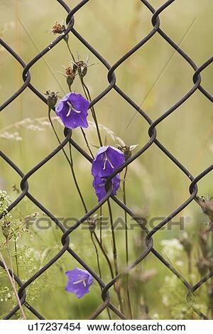 recinto catena-maglia, primo piano, disegno, fiore, ferro Visualizza ...