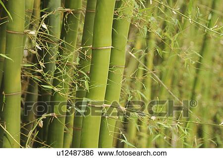 Archivio di immagini bamb bamb pianta agricoltura for Pianta bambu prezzo