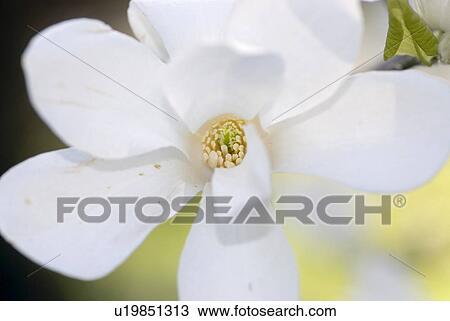 Archivio fotografico fiore fiore primavera speranza for Magnolia pianta prezzi