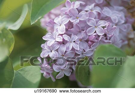 Archivio fotografico il fiore di uno lilla u19167690 - Serenelle fiori ...