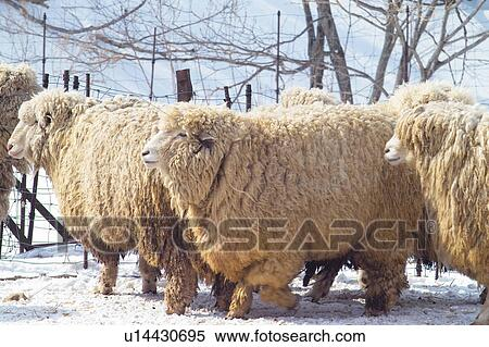 Stock Image Of Seasons Sheep Fence Ranch Outdoors Winter