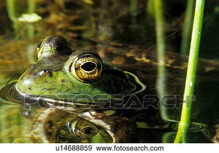 绿色的青蛙, 在中, 池塘