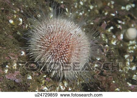 Spines: Sea Urchin Spines In Foot