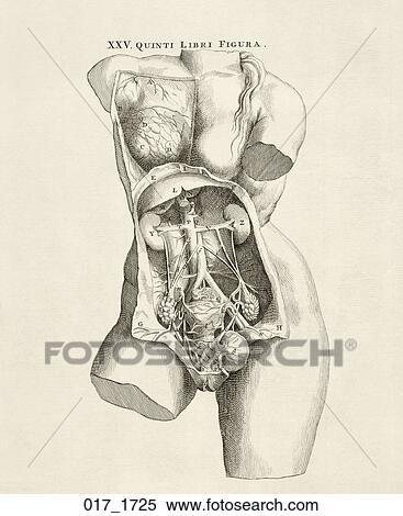 Stock Illustration Of Antique Anatomical Illustration Copper