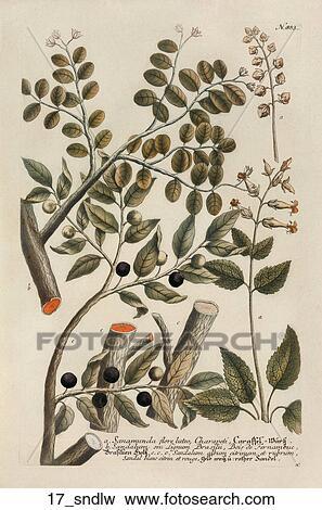 stock illustration of antique botanical illustration of