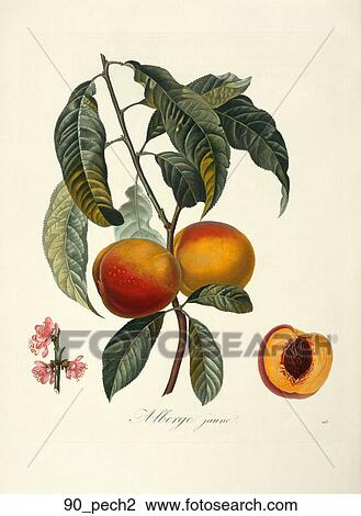 clip art of antique botanical illustration of a peach tree