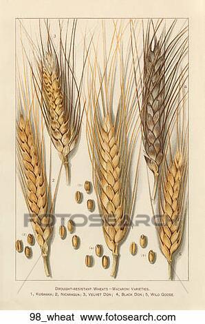 Stock Illustration of Antique Botanical Illustration of Wheat    Wheat Botanical Illustration