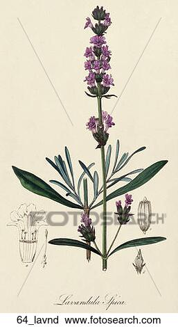clipart of antique botanical illustration of lavender