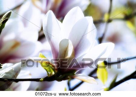 Archivio di immagini magnolia 01072cs u cerca archivi for Magnolia pianta prezzi