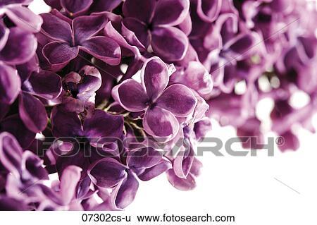 Archivio di immagini fiori di lilla syringa - Serenelle fiori ...