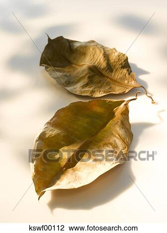 Two Dried Rubber Fig Leaves (Ficus Elastica), Close Up