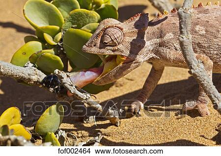 Stock Photo of Africa, Namibia, Namaqua chameleon hunting an ...