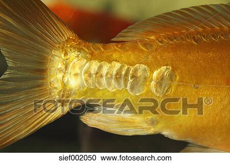 Stock photography of fish scales of koi carp close up for Koi fish scales