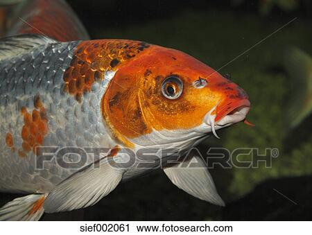 Archivio fotografico germania carpa koi in acquario for Prezzo carpa koi
