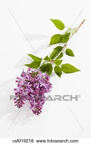 Pictures of purple lilac flowers on white background close up picture purple lilac flowers on white background close up fotosearch search stock mightylinksfo