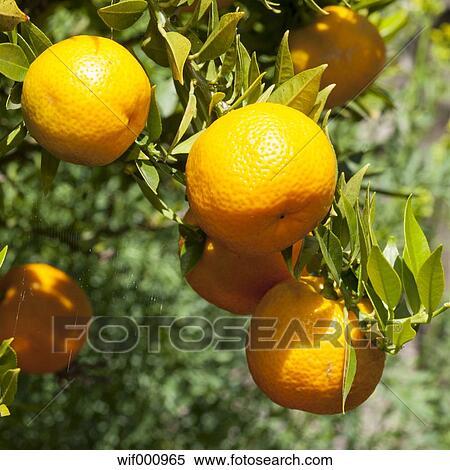Stock image of germany north rhine westphalia muenster for Citrus myrtifolia