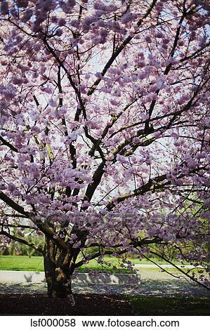 花, 日语, 樱桃树, 在中, a, 公园 lsf000058 lsf000058.jpg图片