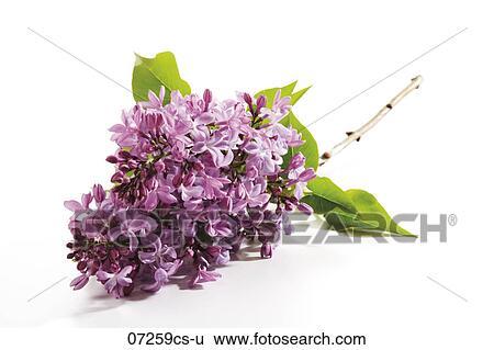 Archivio di immagini lilla syringa primo piano 07259cs - Serenelle fiori ...
