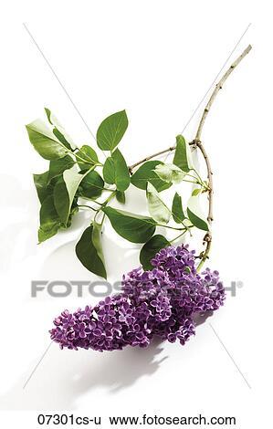 Archivio di immagini lilla syringa vulgaris primo - Serenelle fiori ...