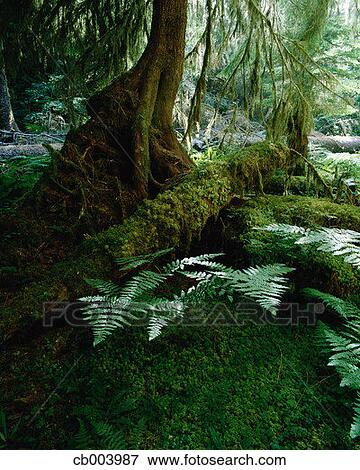 picture of temperate rainforest cb003987 search stock